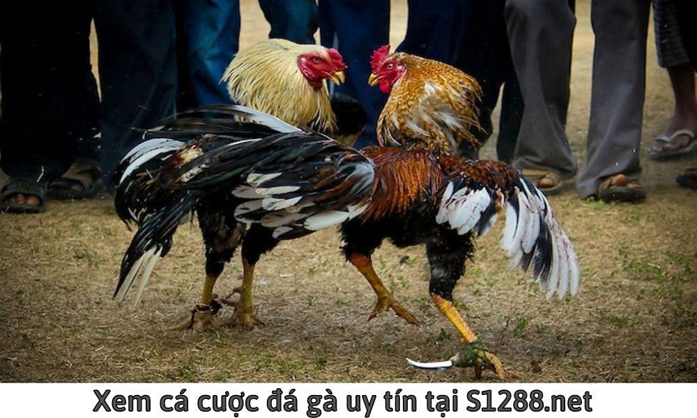 Xem cá cược đá gà uy tín tại S1288.net