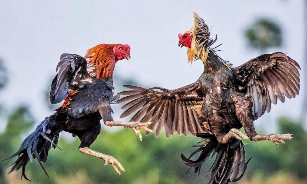 Tham gia cá cược đá gà trực tuyến tại Dagaxanh